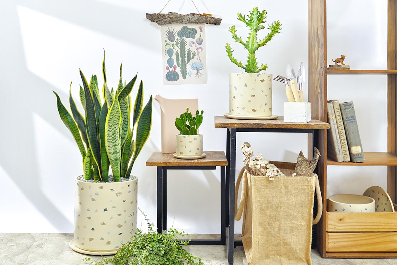 室內盆栽虎尾蘭