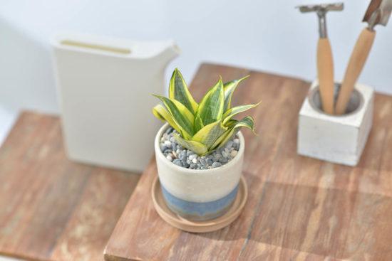 虎尾蘭盆栽的新設計!六種美好呈現 室內盆栽4