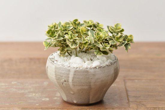 斑葉桌上盆栽