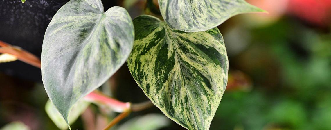 14 種斑葉植物介紹 用葉藝點亮陽台吧