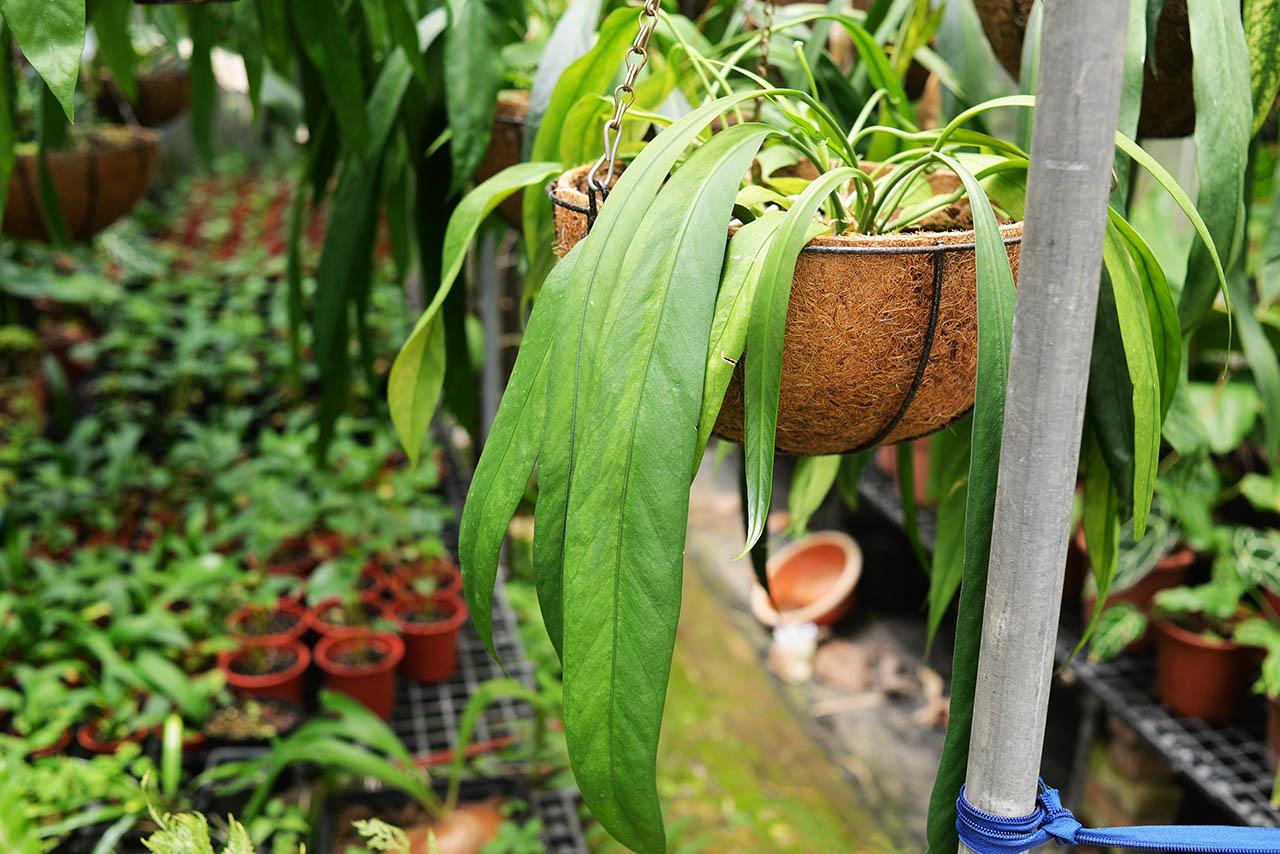 斑葉飄帶火鶴 Anthurium vittariifolium variegated