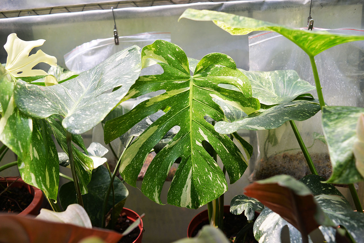泰國星球黃斑龜背芋 monstera thai constellation