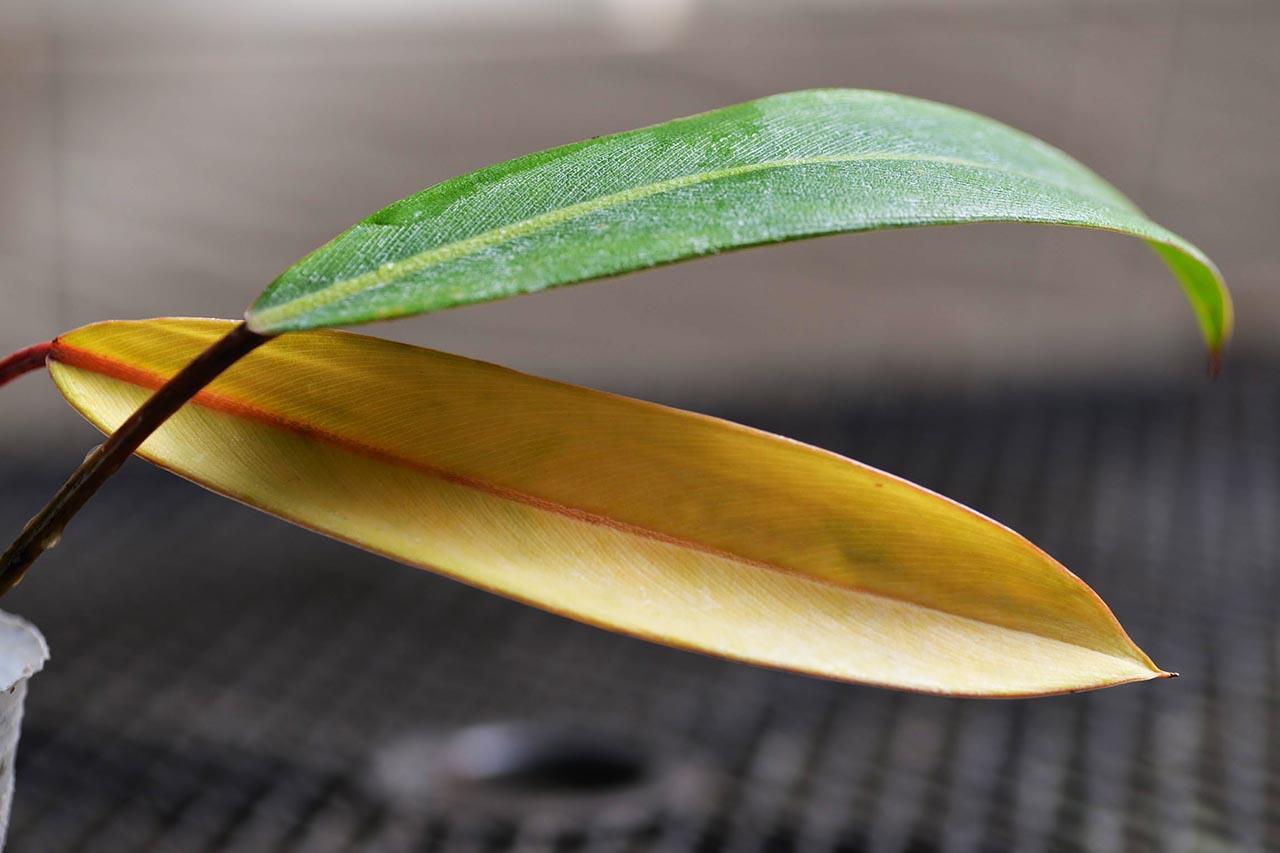 盆器太小導致根系不健康黃葉
