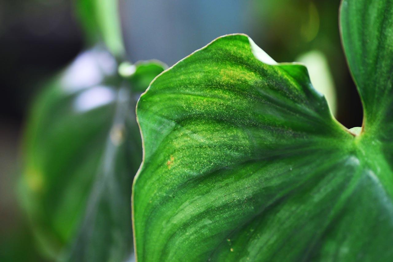 紅蜘蛛葉蟎黃葉