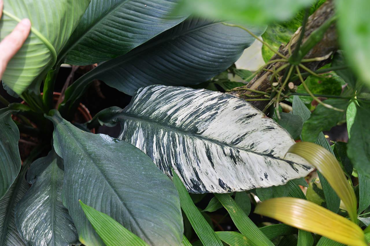 斑葉白鶴芋 Spathiphyllum sensation variegata