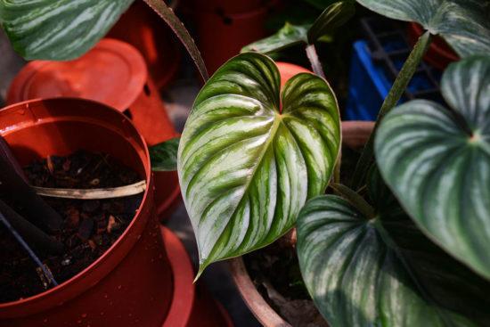 普洛蔓綠絨 Philodendron plowmanii
