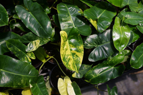 斑葉獨角獸蔓綠絨 Philodendron 'Burle Marx'