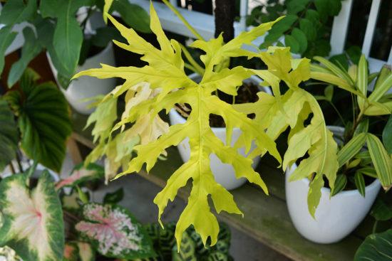 斑葉蔓綠絨 philodendron warscewiczii aurea