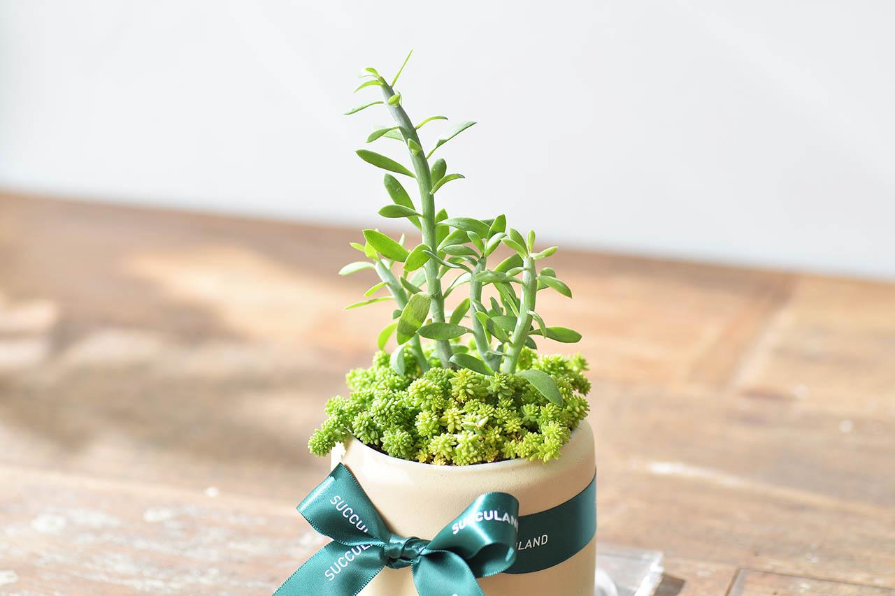 綠色多肉植物