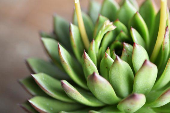 聖誕東雲 多肉植物 Echeveria Agavoides cv. Christmas eve7