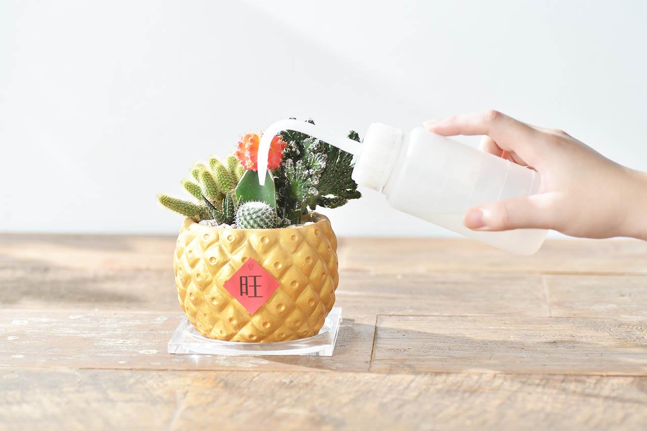 鳳梨盆栽照顧方式