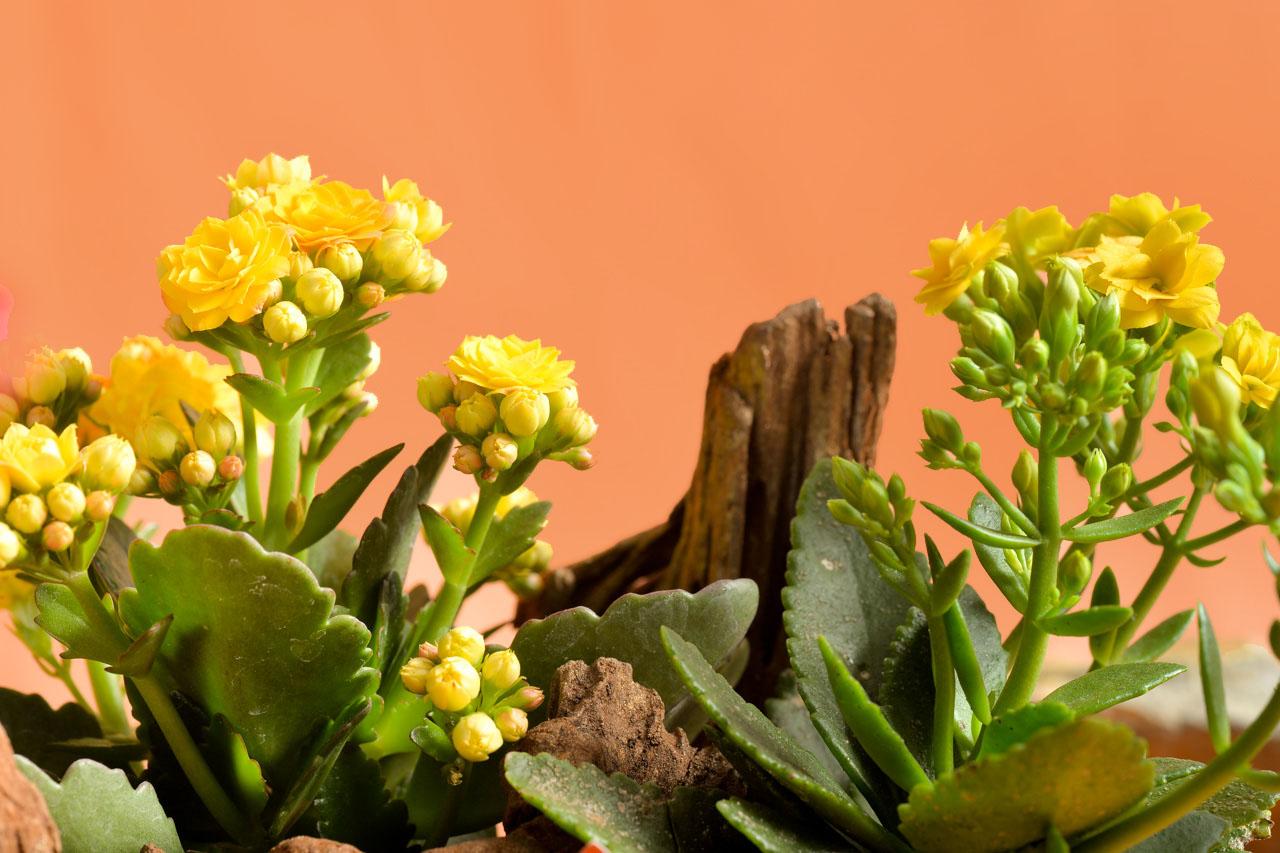 黃色長壽花