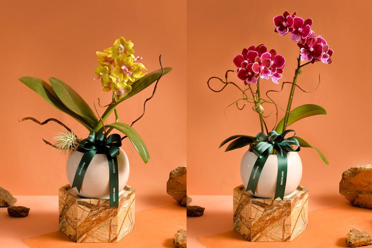 2021 年春節植物禮盒 2021有肉蘭花盆栽(拼)