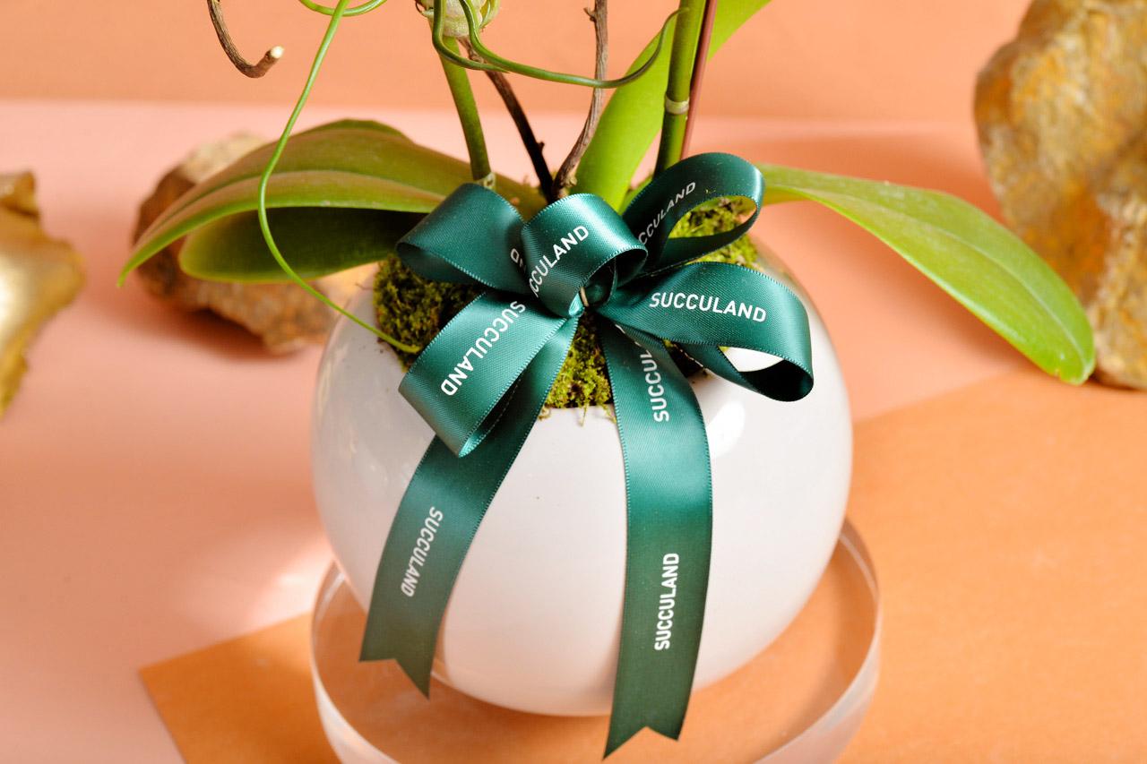 蝴蝶蘭盆栽緞帶