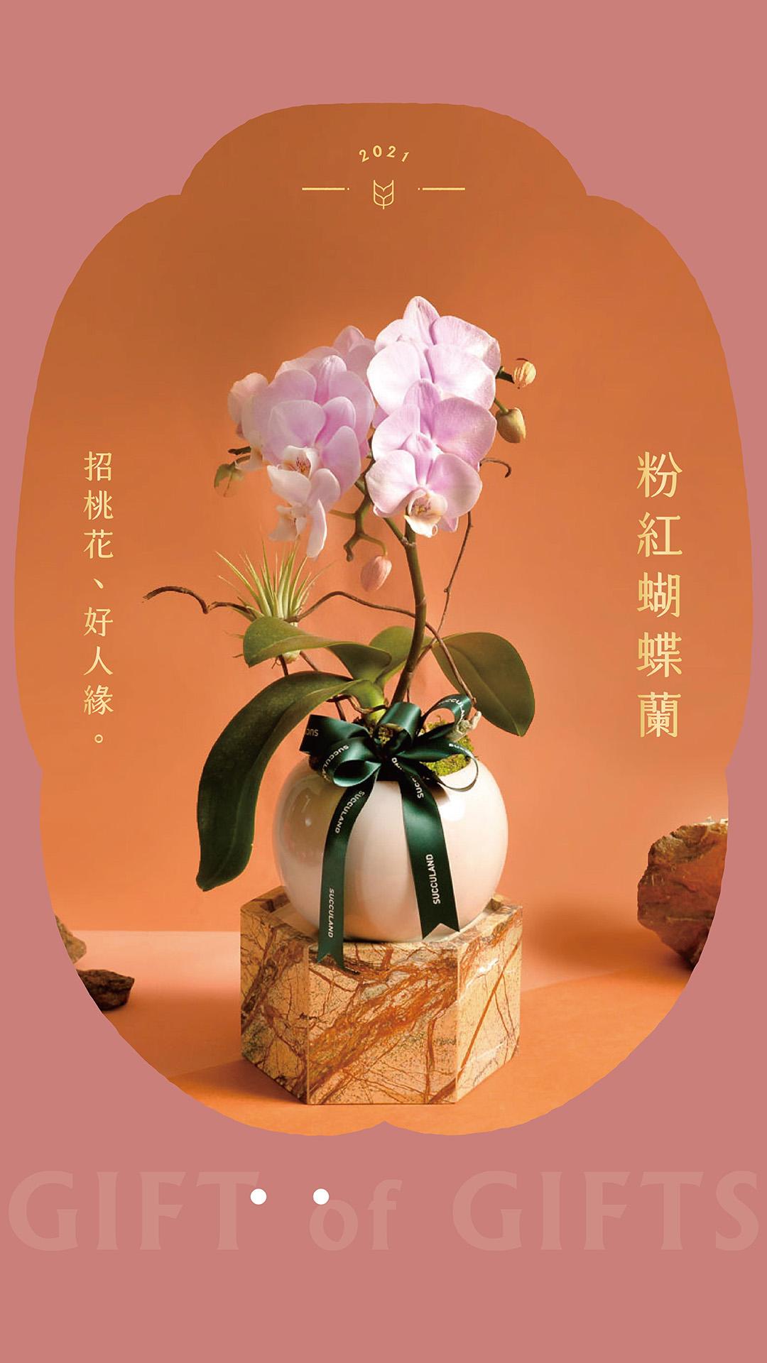 粉紅蝴蝶蘭