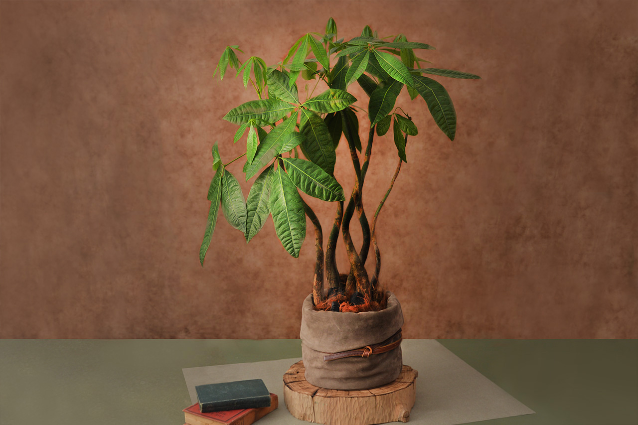 馬拉巴栗組合盆栽