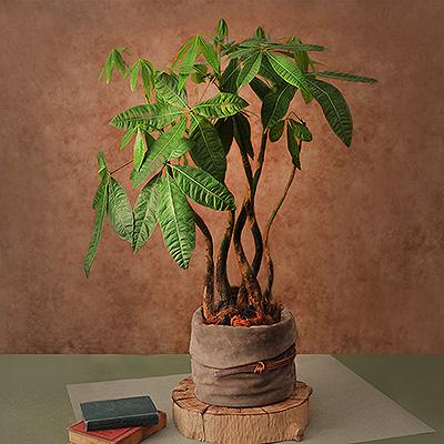 馬拉巴栗發財樹盆栽