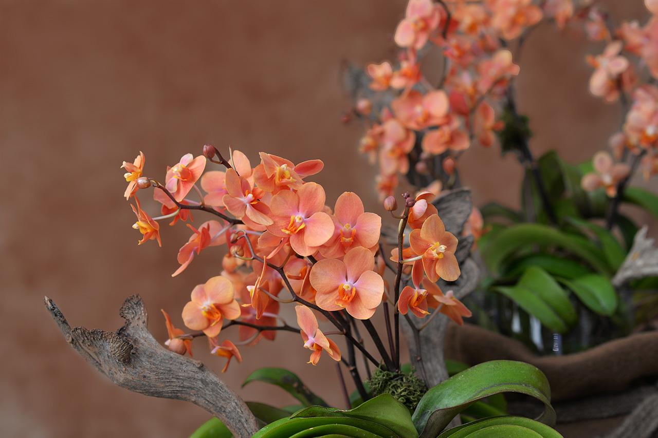 濃烈顏色蘭花