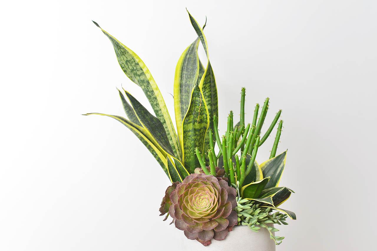 虎尾蘭組合盆栽