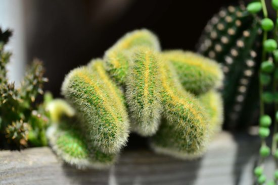 多肉圖鑑:黃金鈕 金毛花冠柱 Borzicactus aureispina4