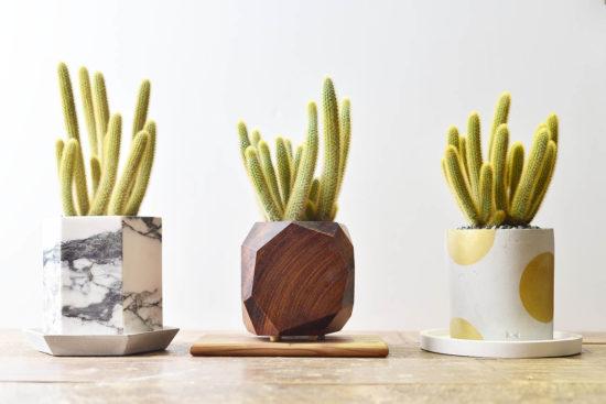 多肉圖鑑:黃金鈕 金毛花冠柱 borzicactus aureispina 多肉植物12