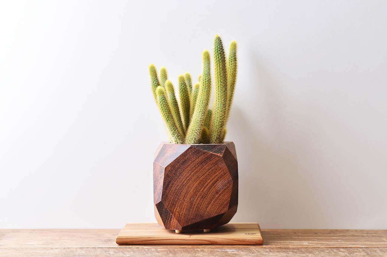 每月一肉 - 黃金鈕 borzicactus aureispina 多肉植物15