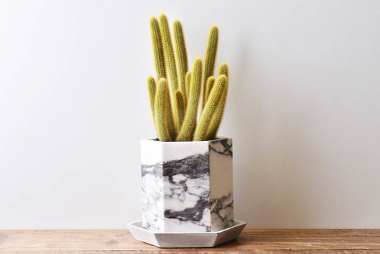 多肉圖鑑:黃金鈕 金毛花冠柱 borzicactus aureispina 多肉植物5