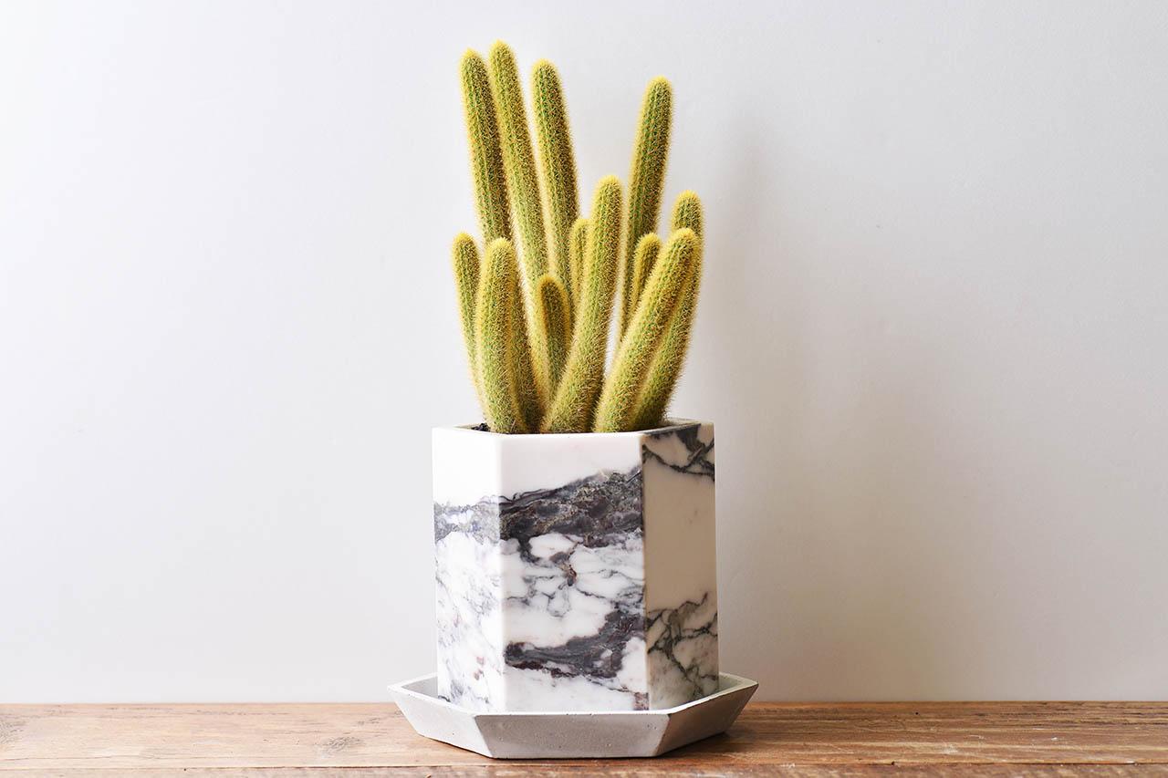 每月一肉 - 黃金鈕 borzicactus aureispina 多肉植物5