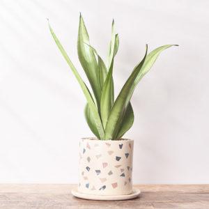 居家植物銀后虎尾蘭5