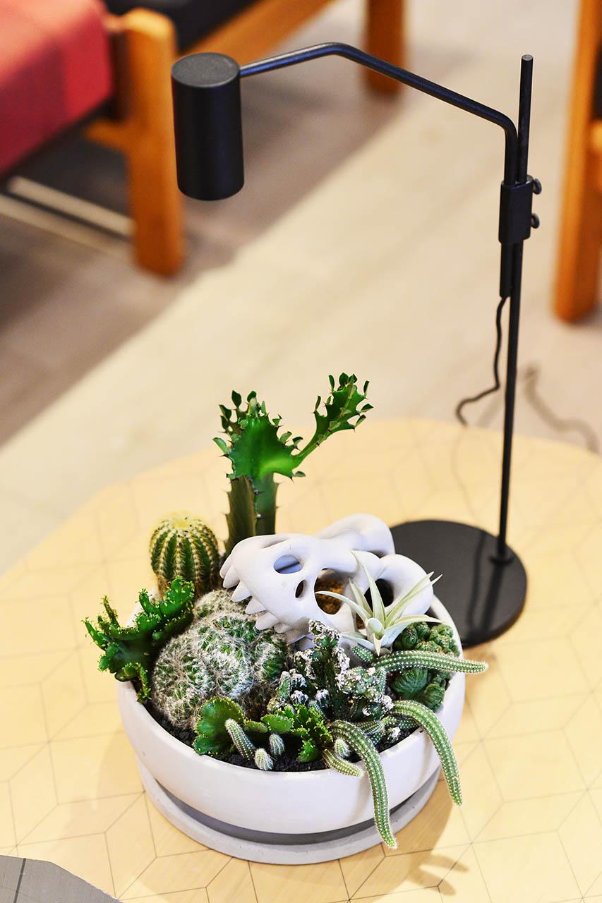 巨型恐龍化石盆栽+多肉植物燈 OURA植物燈8