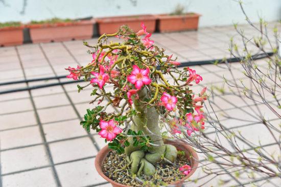 多肉圖鑑:斑葉沙漠玫瑰 2