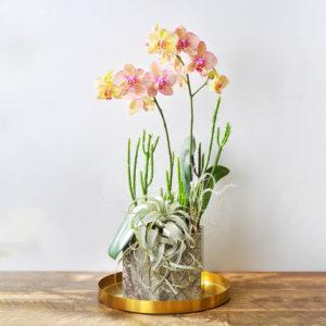 升官桌上型蘭花盆栽1