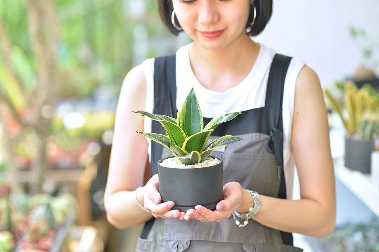 虎尾蘭盆栽