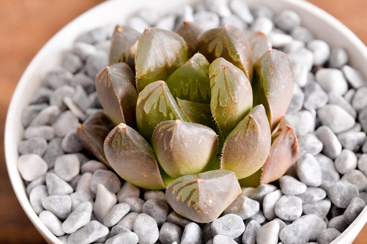 每月一肉 - 玉露壽 阿福花科 多肉6 1