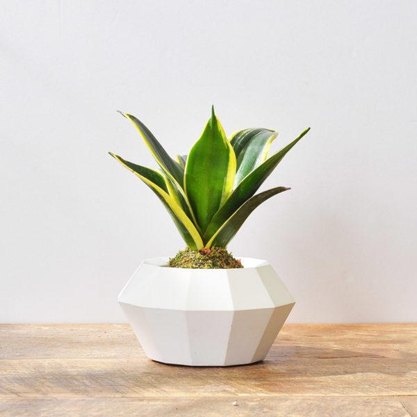 白色超級有質感的水泥盆器+虎尾蘭苔球1