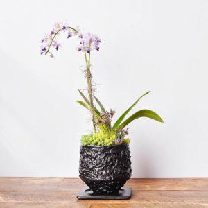 2022 有肉獨賣的紫式部蘭花盆栽.JPG1