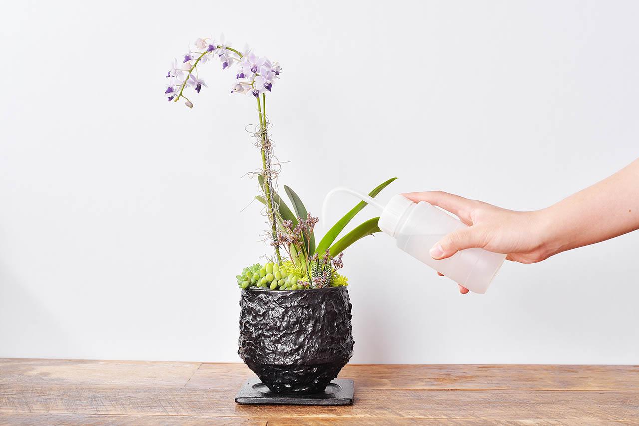 都市裡的紫蘭花 2022 有肉獨賣的紫式部蘭花盆栽.JPG3