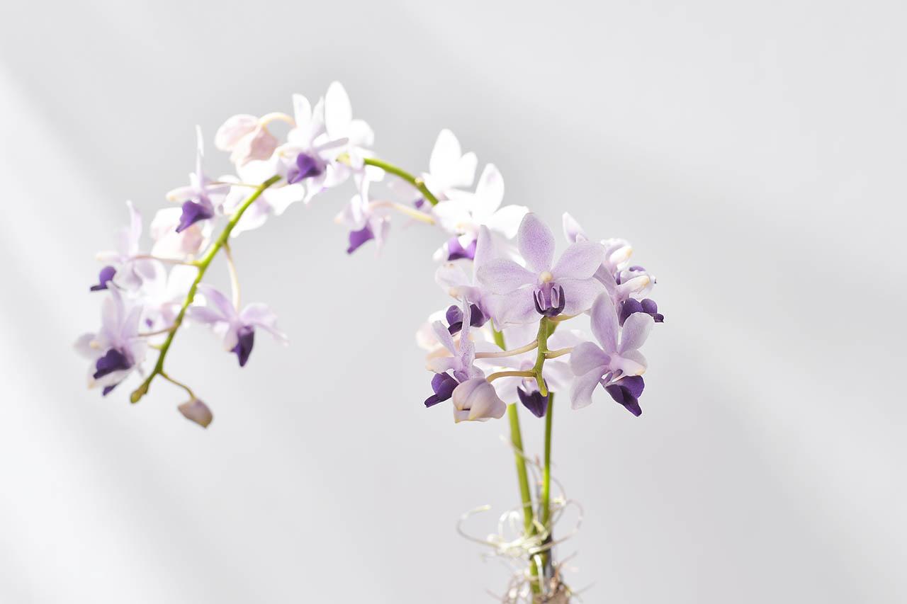 素雅紫色蘭花